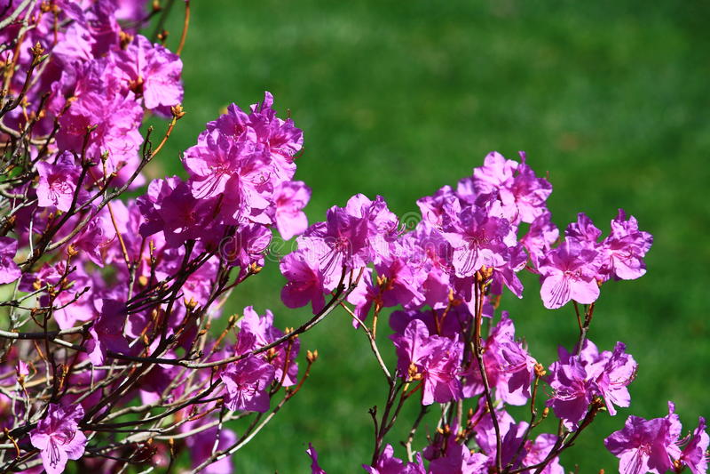 Purple Azalea Flower royalty free stock photo