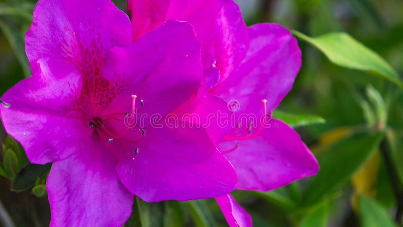 Purple azalea flower royalty free stock photos