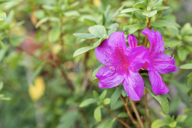 Purple azalea flower in the summer garden stock images