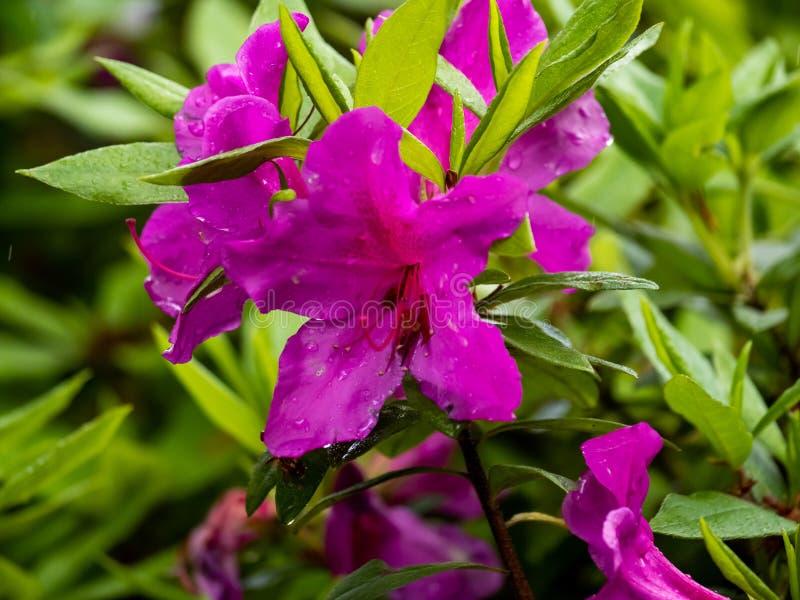 Purple azalea flowers in bloom 1 stock images