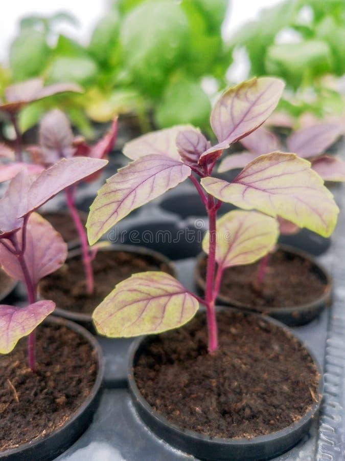 Purple Basil, Fresh Red Basil, Basil Seedlings royalty free stock photos