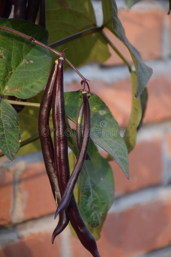 Purple bean pods royalty free stock image