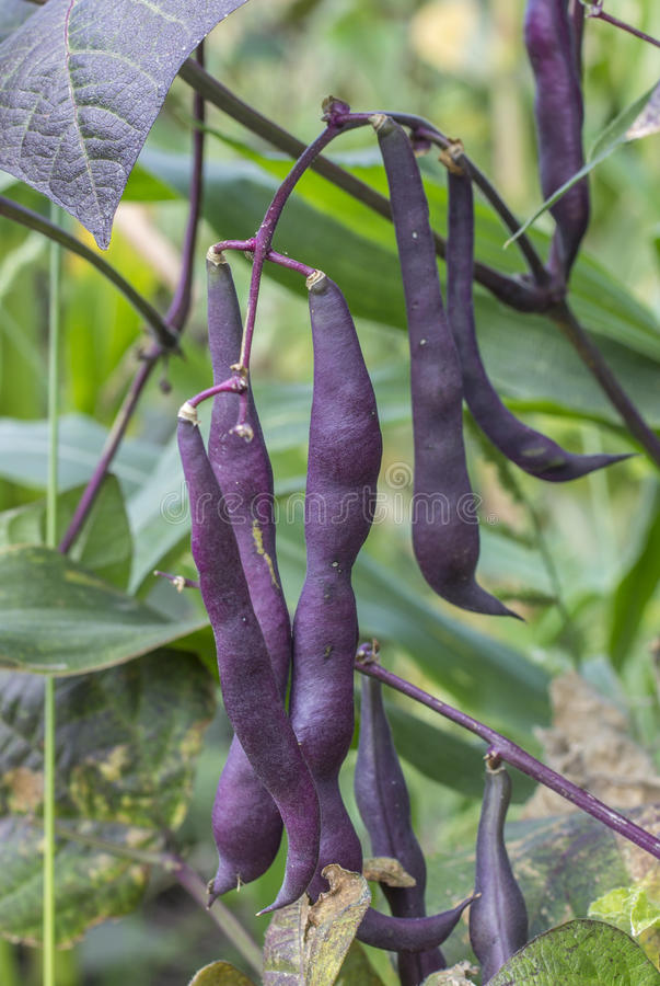 Free Purple Beans Royalty Free Stock Photos - 44588058