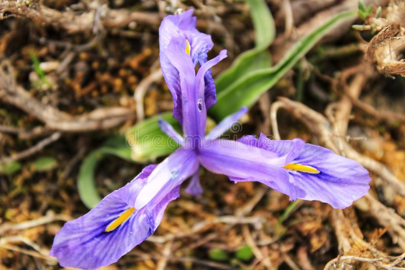 Purple bearded Iris flower in the mountain. In Spain royalty free stock images