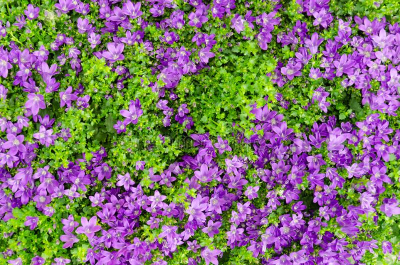 Purple Bellflowers or Campanula flowers with green leaves. Floral background at spring or summer season royalty free stock photos