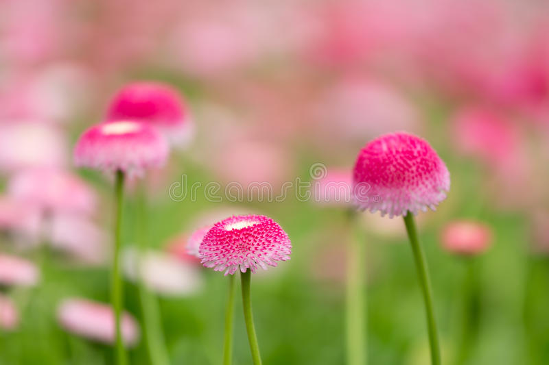 Download Purple Bellis Flowers With Selective Focus Stock Photo - Image of flora, botanical: 39506498