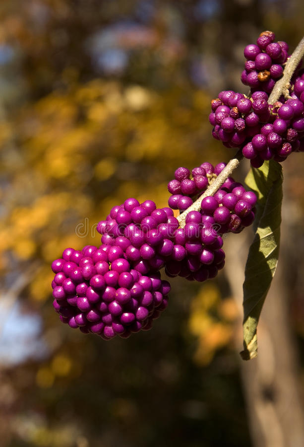 Free Purple Berries Royalty Free Stock Photos - 18183848