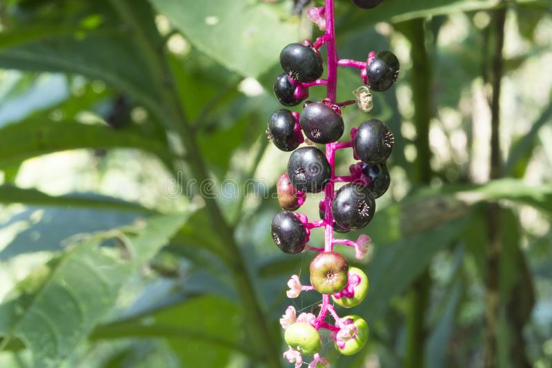 Purple berries on pink stem stock images