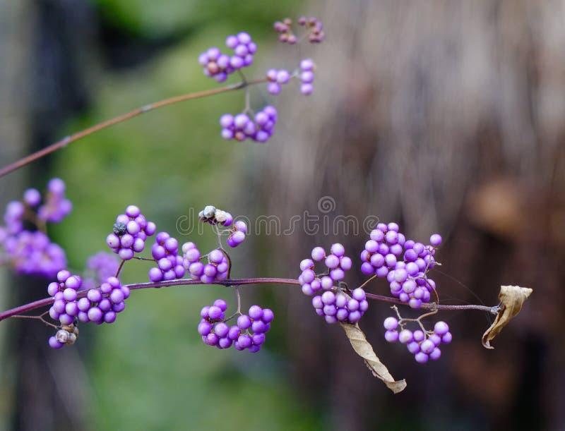 Purple berries in winter. Shrub Callicarpa (Lamiaceae) with purple berries in winter stock images