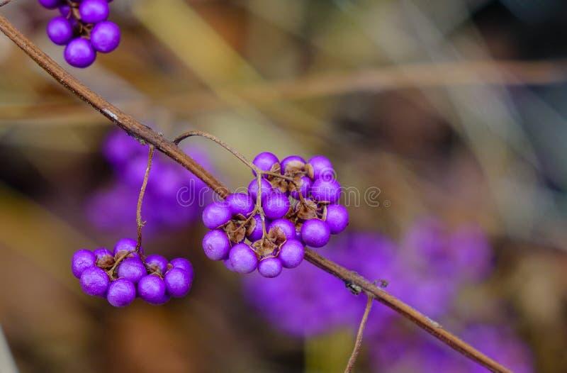 Purple berries in winter. Shrub Callicarpa (Lamiaceae) with purple berries in winter. Dried plants background royalty free stock images