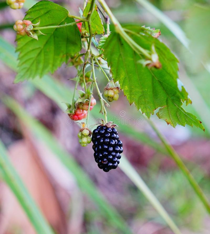 Purple berry. Fresh Purple berry fruit on branch, taken in Tampa, florida royalty free stock images