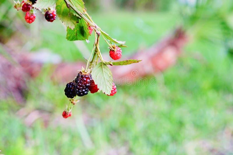 Purple berry. Fresh Purple berry fruit on branch, taken in Tampa, florida stock photos