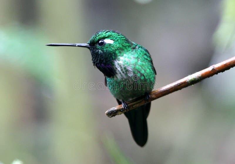 Purple-bibbed Whitetip Hummingbird,Ecuador royalty free stock photography