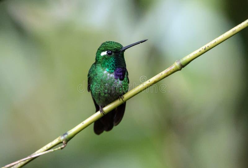 Purple-bibbed Whitetip Urosticte benjamini hummingbird,Ecuador royalty free stock photography