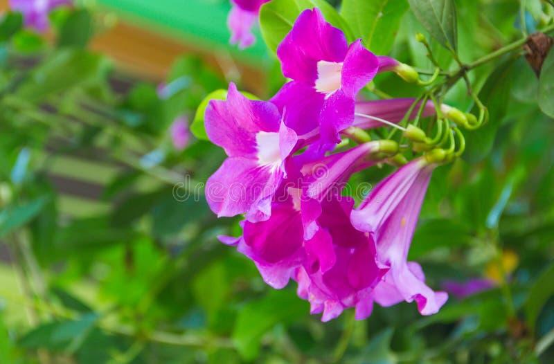 Purple Bignonia blooming on a tree. stock photos