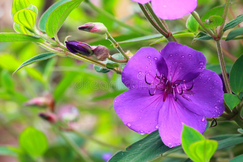 Purple Bignonia royalty free stock image