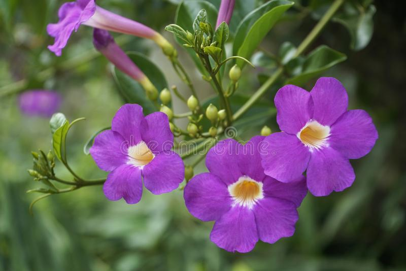 Purple Bignonia flowers blooming in the garden stock images