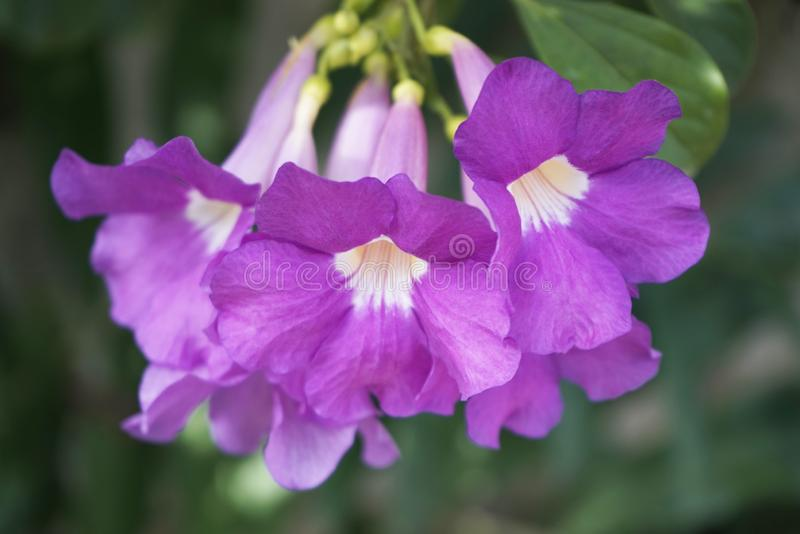 Purple Bignonia flowers blooming in the garden royalty free stock image