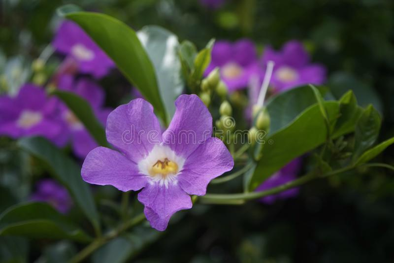Purple Bignonia flowers blooming in the garden royalty free stock photo