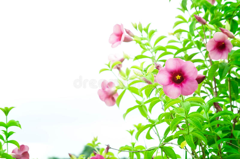 Purple Bignonia flowers , plant flowers growing and blooming on stock photography