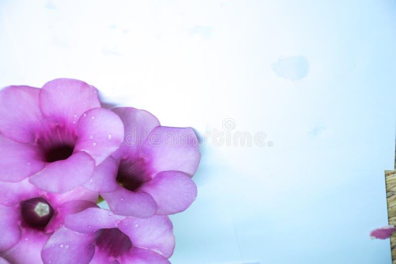 Purple Bignonia isolated stock images