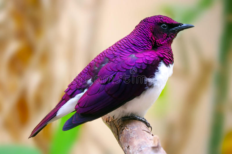 beautiful shimmering male violet-backed or amethyst starling (cinnyricinclus leucogaster) sitting on a branch stock image