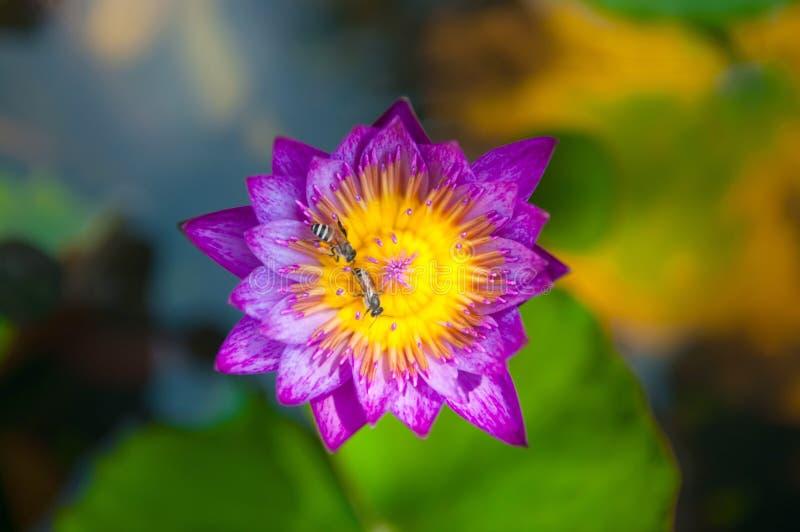 Purple bloeit waterlily en bij stock foto