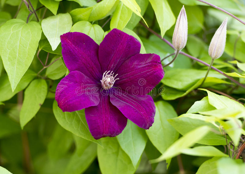 Purple bloom on Clematis climbing vine. Pictured is a closeup view of a beautiful purple bloom on a Clematis climbing vine. Clematis is a genus of about 300 royalty free stock photography