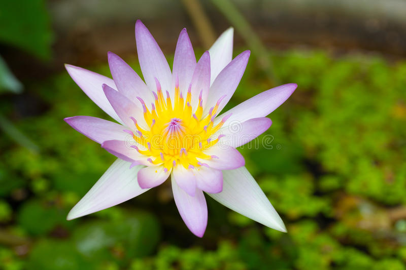Purple bloomed. A beautiful purple thai lotus bloomed in the water stock photos