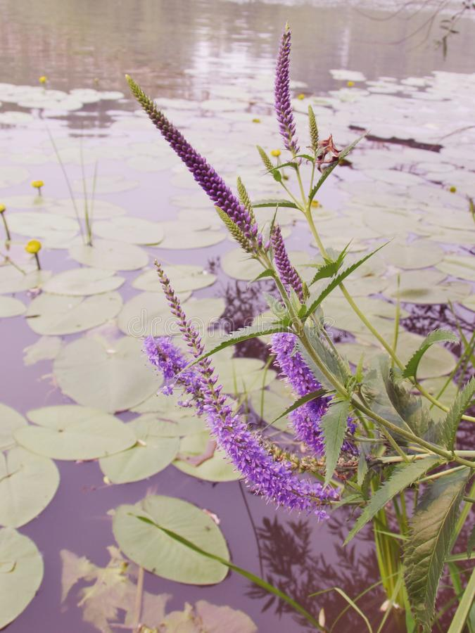 Purple blooming inflorescences of spiked speedwell on the background of the lake with blooming yellow water lilies. Purple blooming inflorescences of spiked stock photography