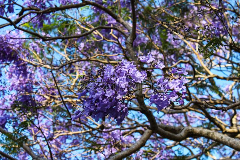 Purple blooming jacaranda tree branches closeup against turquoise sky - background - selective focus stock photo
