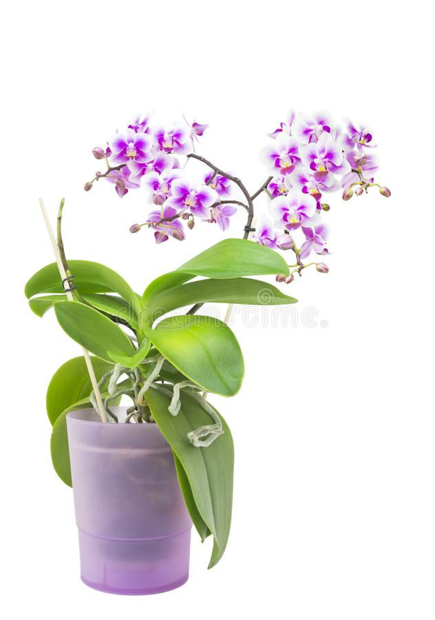 Purple blooming orchid plant in pink flower pot. Isolated on white background, selective soft focus. Beautiful home bouquet of pur royalty free stock image