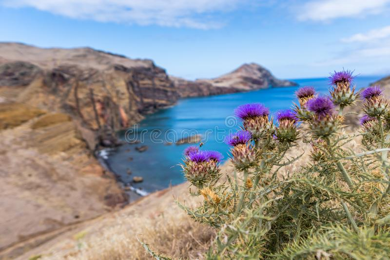 Purple blooming thistle in front of rocky coastline in Madeira, Portugal. Europa royalty free stock image