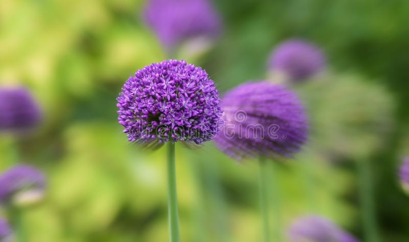 Purple blooms in garden royalty free stock image