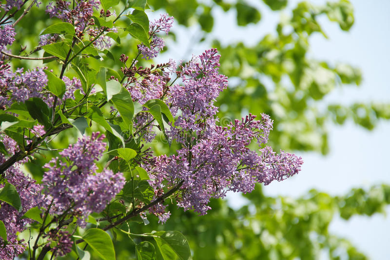 Purple blooms of lilac. Twigs of common lilac with beautiful purple blooms in spring royalty free stock photo