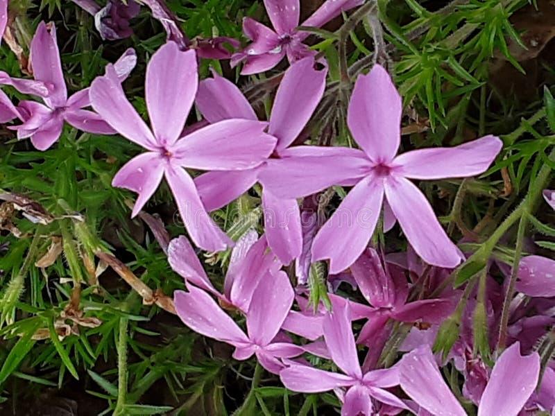 Tree Purple blooms. Purple blooms seasional tree green stock images