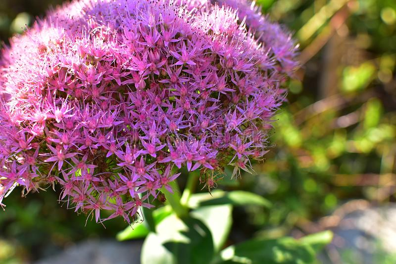 Purple Bloosoms of Showy Stonecrop stock photography