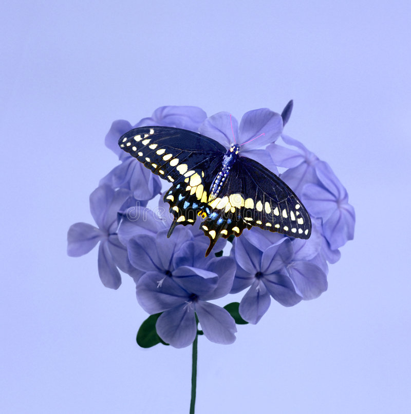 Purple Blossom and Butterfly. Cluster of purple blossoms and black swallowtail butterfly stock image