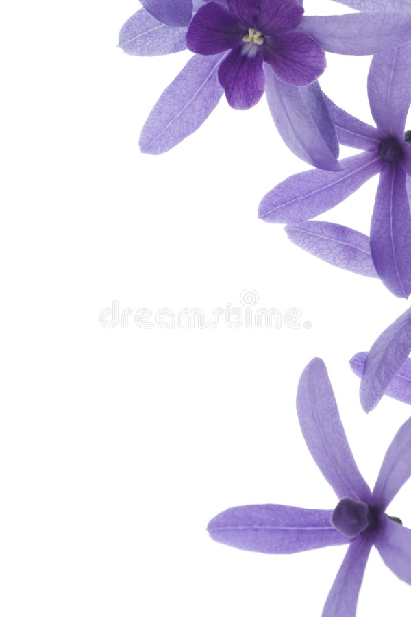 Purple blossoms on white background stock image