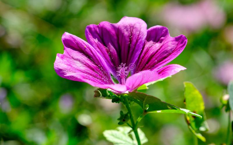 Purple blossoms of the wild mallow close up. stock photography