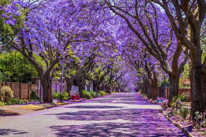 Purple-blue Jacaranda mimosifolia blüht im Frühjahr in den Straßen von Pretoria im Oktober in Südafrika lizenzfreie stockfotos