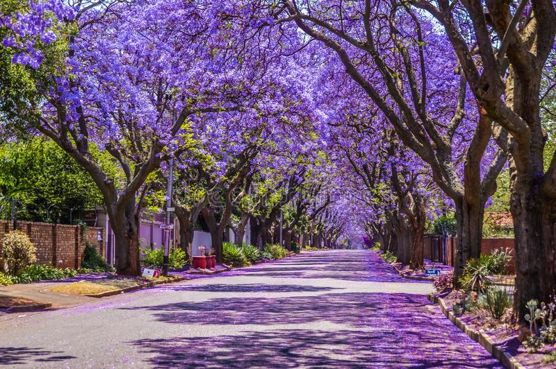 Purple Blue Jacaranda mimosifolia bloom in Pretoria straten in oktober in Zuid-Afrika royalty-vrije stock foto's