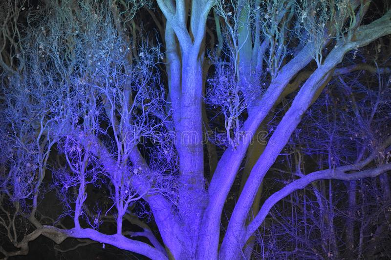 Purple and Blue lit Tree in the Night. A purple and blue lit tree in the night. It is a very old tree stock photography