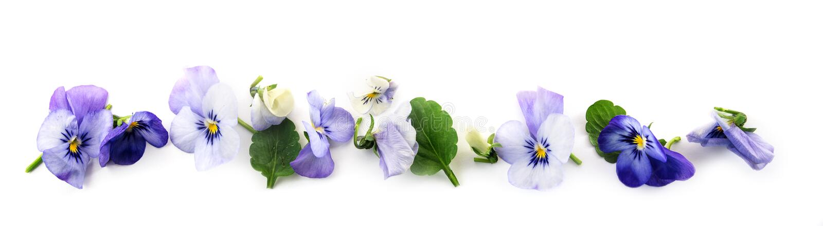 purple blue pansy flowers and leaves in a row, spring banner background in panoramic format isolated with small shadows on a whit stock photo