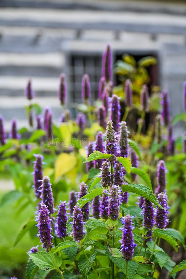 Purple blue Salvia Memorosa spike flowers. Blooming at Old World Wisconsin, a living history museum in Eagle, WI royalty free stock photography