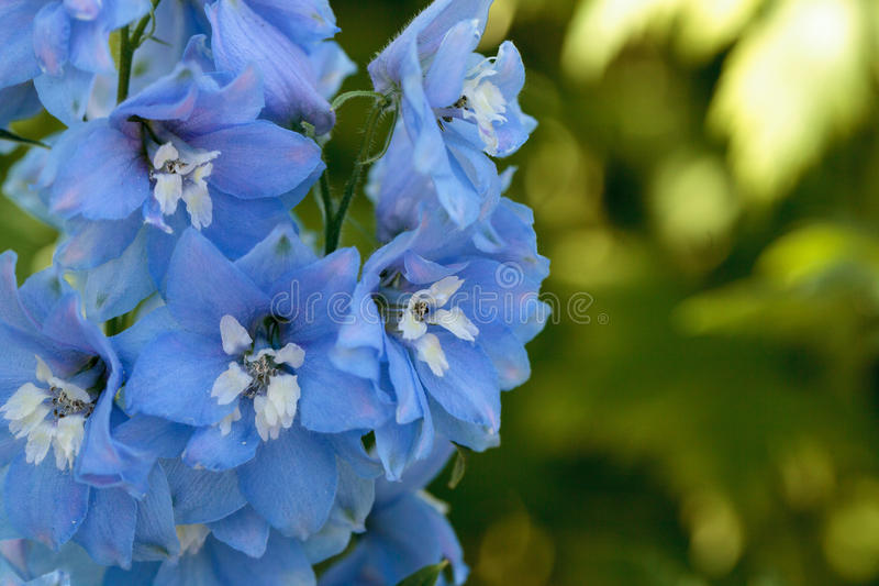 Purple blue and white larkspur flower stock photo image of bloom download purple blue and white larkspur flower stock photo image of bloom delphinium mightylinksfo