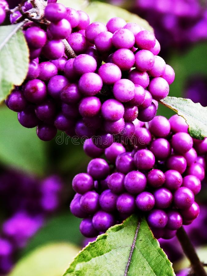 Purple Bodinier`s Beautyberry. Close up of purple berries on a Winter morning stock image