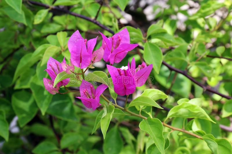 Purple bougainvillea flower on daylight, Panicle Bunch Fragrant pink and purple, flower with blurred background royalty free stock images