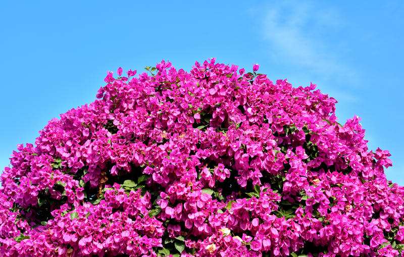 Purple Bougainvillea Flowers As Ball Shape Royalty Free Stock Photos