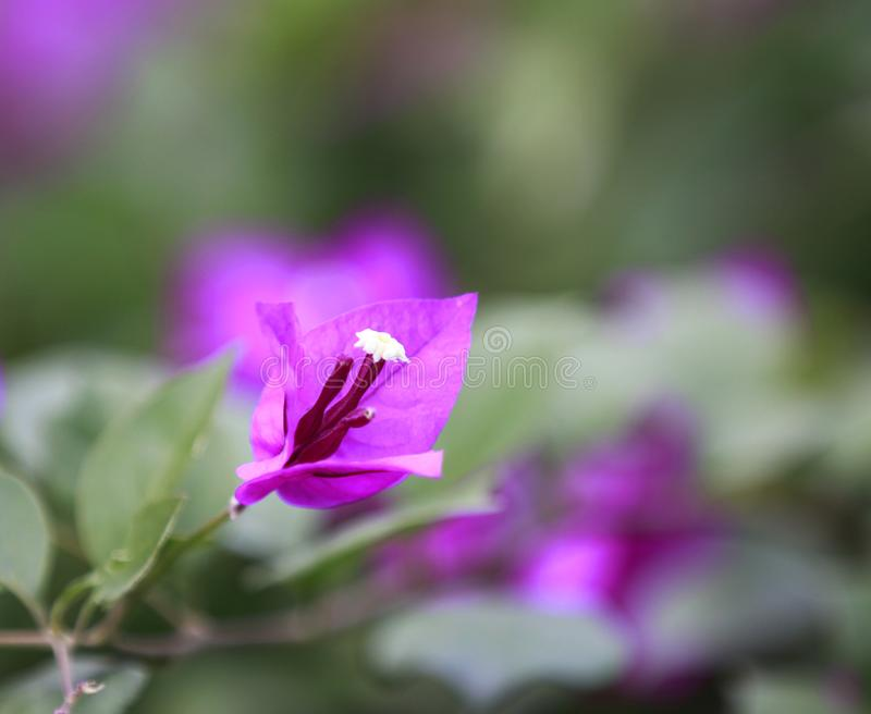 Purple bougainvillea in full bloom with water drops and green leaf. Purple bougainvillea in full bloom with water drops and green leaves in shinning day. Photo stock image